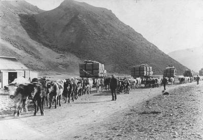 Bullock-drawn wagons, Kurow, c.1895.