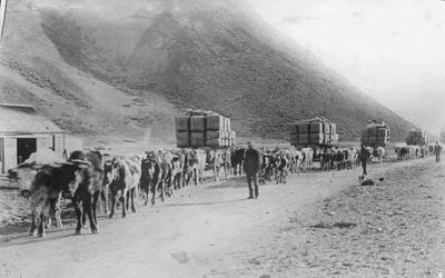 Kurow c 1895 several bullock trains