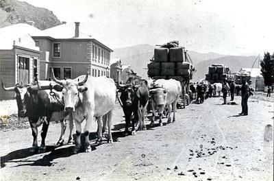 Bullock Wagons at Kurow