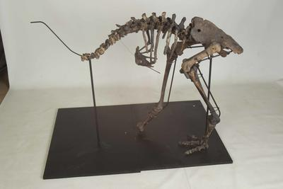 Partial Moa Skeleton