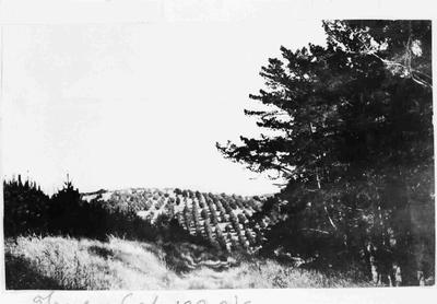 Trees on Cape Wanbrow, 1920s.
