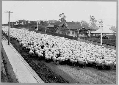 Sheep Farming, North Otago