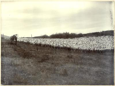 1500 Sheep (Two Tooths), Bushey