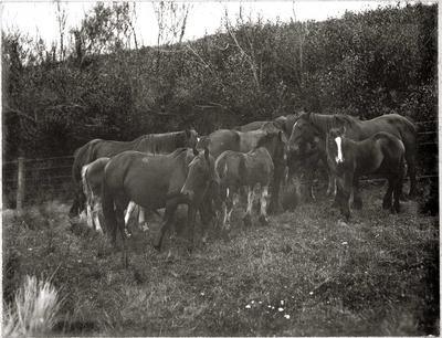 Brood Mares and Foals Gathered on fence line, Heathfield