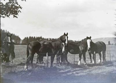 Clydesdales at Elderslie Estate