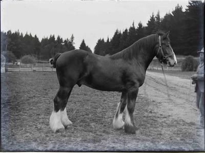 Clydesdale at Elderslie Estate. Unidentified man