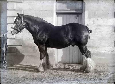 Clydesdale at Elderslie Estate