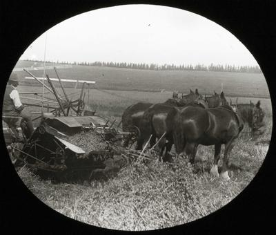 Man and Clydesdales harvesting