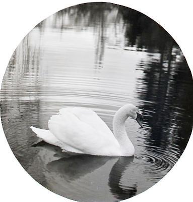 Swan on Elderslie Estate lake