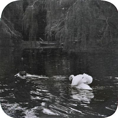 Swans on Elderslie Estate lake