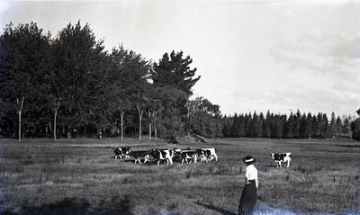 Woman with cows, Elderslie Estate