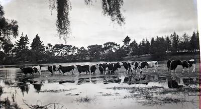 Cows in flooded paddock. Elderslie Estate