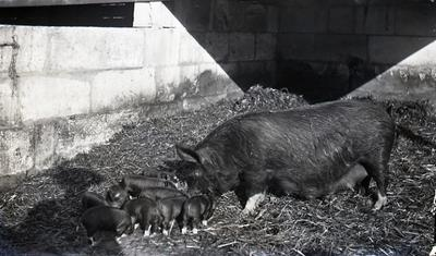 Sow with piglets. Elderslie Estate