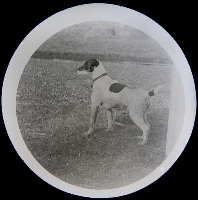 Dog - Fox Terrier. Elderslie Estate