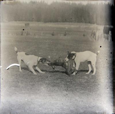 Dogs with dead hare. Elderslie Estate