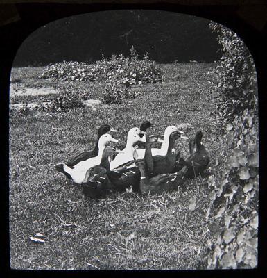 Ducks. Elderslie Estate