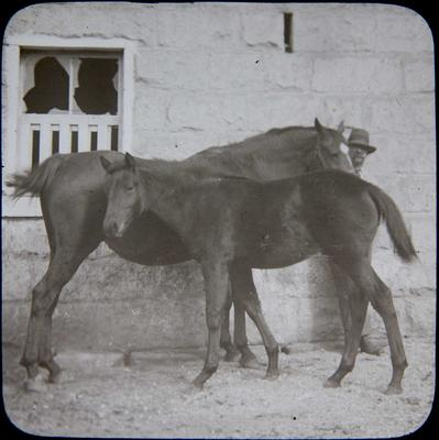 Man with horse and foal at stables. Elderslie Estate