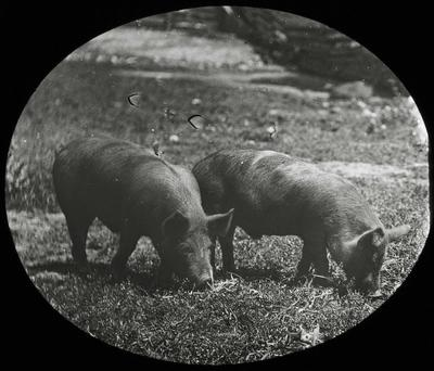 Pigs. Elderslie Estate