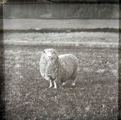 Sheep. Elderslie Estate