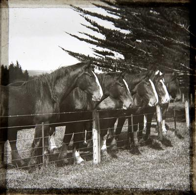 Clydesdales at Elderslie Estate