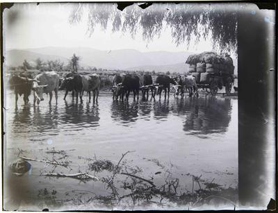 Bullock Team hauling wool bales