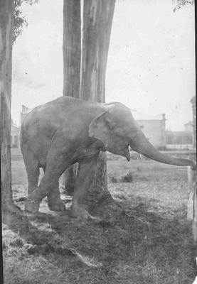 Alice the elephant