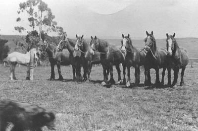 Possibly the last Draught Horse team in North Otago