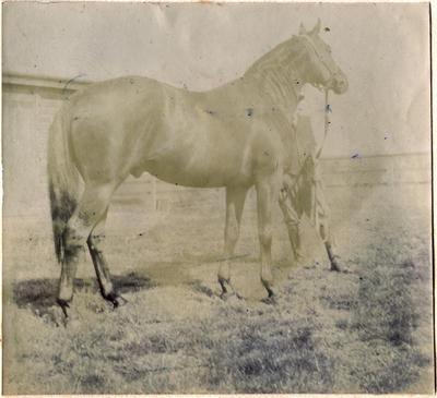 Unidentified horse. Waitaki Boys' High School album of Ralph Garland