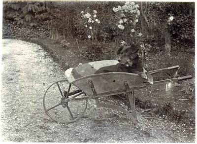Dog sitting in a wheelbarrow