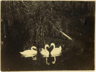 Swans on a lake; 2014/45.02.035
