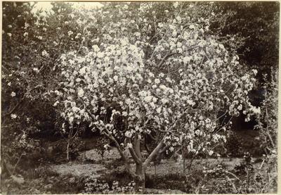 Flowering tree; 2014/45.02.066