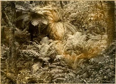 Tree ferns in the bush