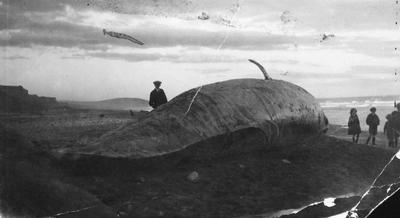 Whale Stranding, probably Kakanui