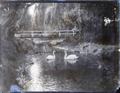 Swans in Oamaru Gardens