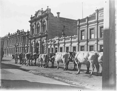 Steer bullock team, Tyne Street
