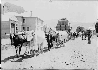 Bullock teams hauling wool, Kurow