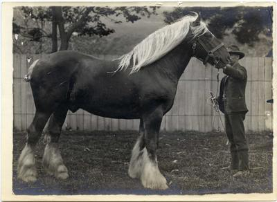 Unidentified man with Clydesdale horse