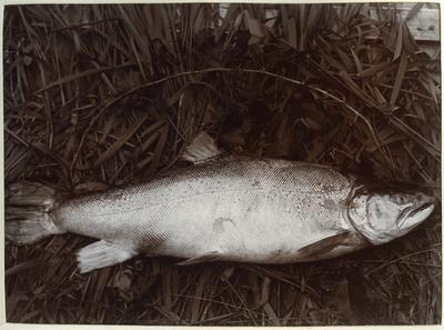 21 pound trout caught by J Watt; P0027.12.13