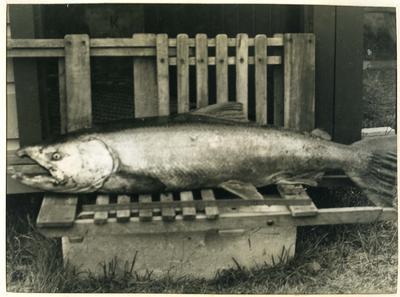 38 pound Chinook Salmon [Quinnat Salmon]; P0027.12.16
