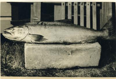 33 pound Chinook Salmon [Quinnat Salmon]; P0027.12.17