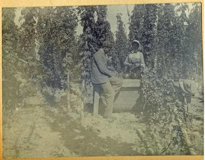 Man and woman harvesting hops