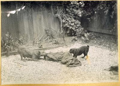 Two dogs playing with a sack; 2014/45.01.009
