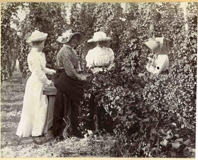 Four women harvesting hops; 2014/45.01.014