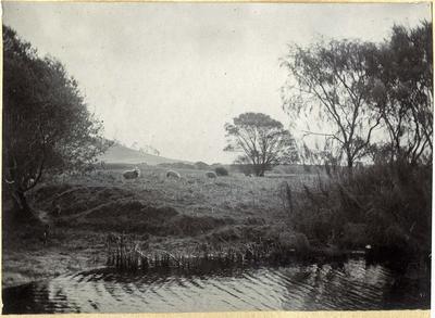 Sheep beside a pond