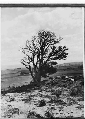 Collection of Waitaki District Archive Id100887 Totara Tree near Brydone Memorial.