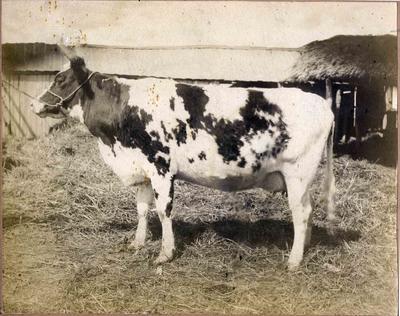 Emma, prize winning cow