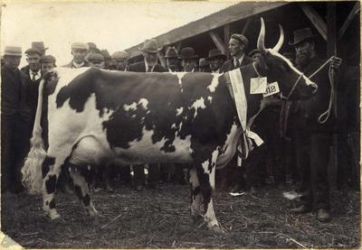 Ada II of Haydowns, Canterbury Agricultural and Pastoral Association Metropolitan Show.; P0176.13