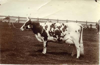 Cow at an agricultural show