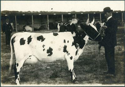 Man standing with the cow Flirt, at an agricultural show