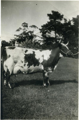 Cow in a paddock